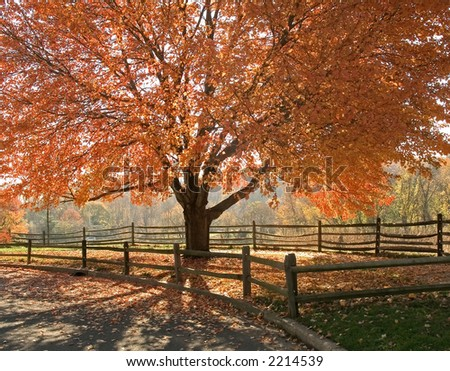 A beautiful Autumn shade tree in full seasonal colors at a state park in New Jersey.