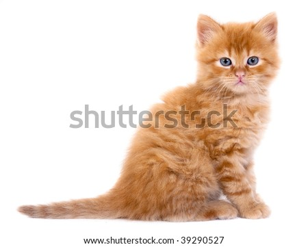 A beautiful baby cat photographed in studio