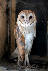 A beautiful barn owl looking at camera.