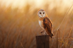 A beautiful barn owl perched on a tree stump.