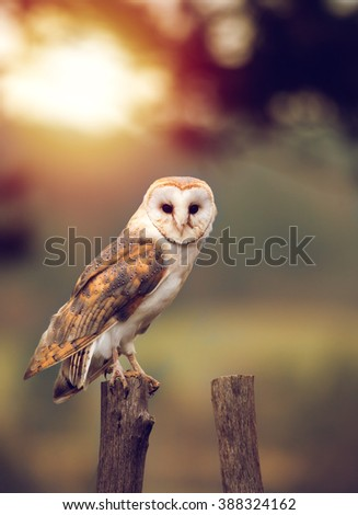 A beautiful barn owl (Tyto alba) perched on a tree stump during sunset. Wildlife photo.