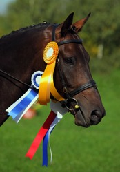 A beautiful bay dressage horse portrait with rosettes and ribbons