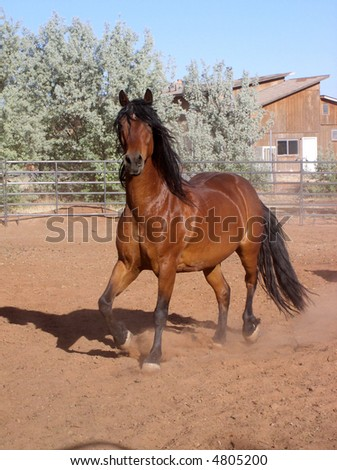 a beautiful bay horse with lots of black mane and tail trotting