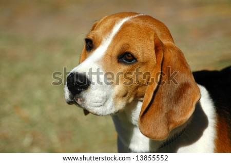 A beautiful Beagle hound dog head portrait with cute expression in the face watching other dogs in the park outdoors