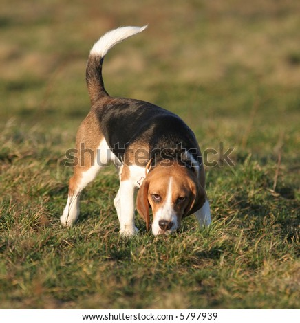 A beautiful Beagle hound dog head portrait with cute expression in the face watching other dogs in the park outdoors.