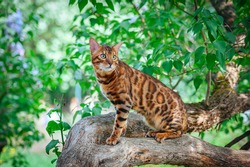 A beautiful Bengal cat with green eyes sits on a lilac trunk surrounded by green leaves, on a hot summer day, amid a bunch of lilacs