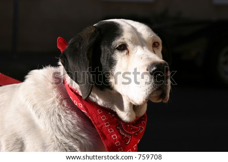 "A beautiful big dog wears a red scarf while looking for ""the Kitty�"