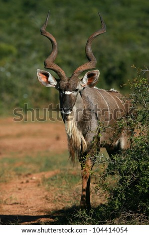 A beautiful big male kudu bull antelope approaching. This mature species has huge horns and is considered a trophy.Addo elephant national park,eastern cape,south africa