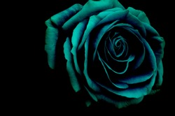 A beautiful big rose in dark blue tone and black background