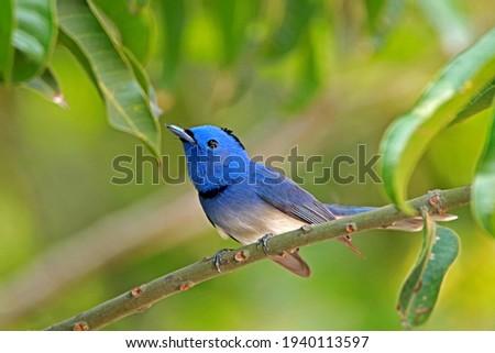 A beautiful bird in Thailand, Black-naped Monarch Stock fotó ©