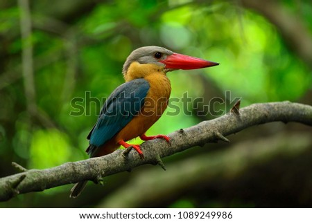 A beautiful bird Stork-billed Kingfisher (Pelargopsis capensis) blue bird with red bills and brown body on the branch in nature.