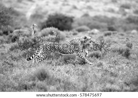 A beautiful black and white photo  of a cheetah running while hunting on the the plains with another cheetah in the background.Taken on safari in Africa. #578475697
