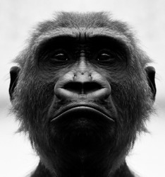 A beautiful black and white portrait of a monkey at close range that looks at the camera. Gorilla.