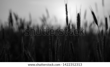 A beautiful black and white view of a grain field at sunset.