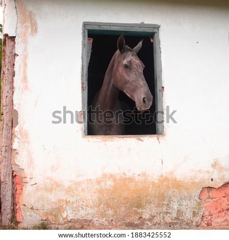 a beautiful black horse coming out of a window with blue edges (cavalo saindo pela janela) Foto stock ©