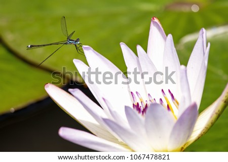 A beautiful blue and black damselfly rests on a lotus petal. #1067478821