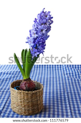 A beautiful blue hyacinth in a basket on a blue checkered table cloth