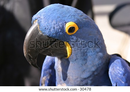 a beautiful blue macaw parrot with yellow around its eyes and lower beak sits and enjoys a warm summer day