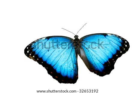 A beautiful Blue Morpho Butterfly, isolated on white background, horizontal with copy space