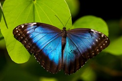 A beautiful blue morpho butterfly perched on a leaf.