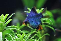 A beautiful blue short body tiger barb (Sumatra barb) is swimming in freshwater aquarium. Puntigrus tetrazona is tropical cyprinid fish.