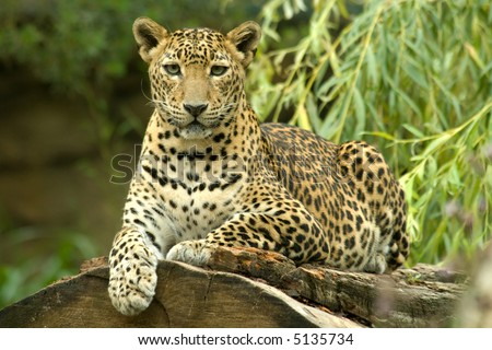 a beautiful body of young leopard #5135734