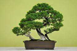 A Beautiful Bonsai Tree in a Pot
