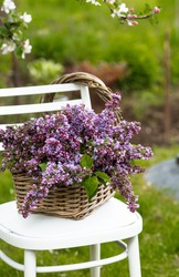 A beautiful bouquet of lilacs in a wicker basket of vines on a white antique chair on the green lawn in the spring garden. Beautiful postcard for printing. The concept of spring and holiday.