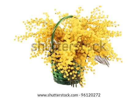 A beautiful bouquet of mimosa in the basket isolated - stock photo