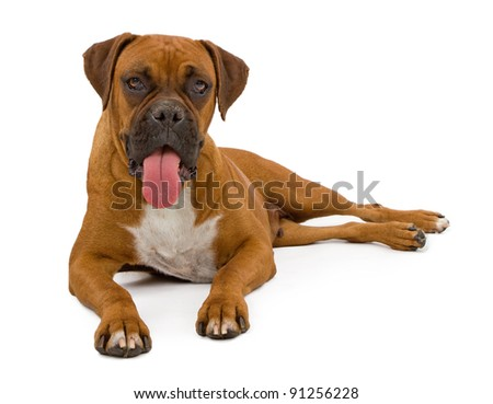A beautiful Boxer dog laying on a white backdrop with tongue out.