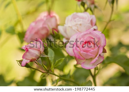 a beautiful branch of roses flowers