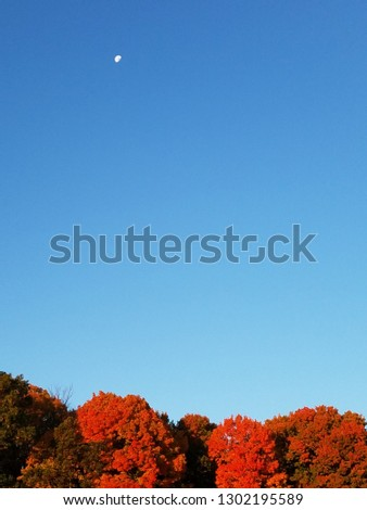A beautiful, bright blue morning New England sky in autumn features a moon in the upper left hand corner and a line of brightly colored fall leaves of tree  tops along the bottom.  Vertical view. #1302195589