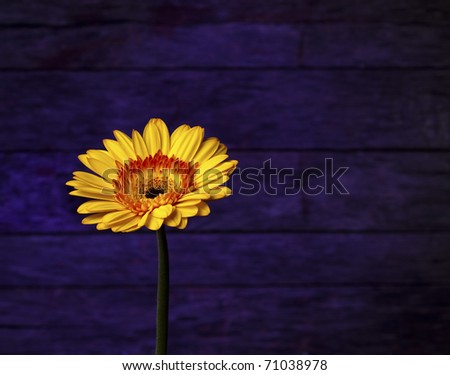 A beautiful Bright golden Gerbera Daisy on a neat purple backdrop. Lots of copy space.