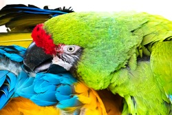 A beautiful bright green-colored macaw parrot cleans the feathers of his partner