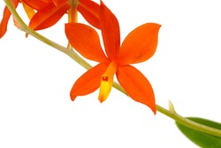 a beautiful bright orange yellow red Encyclia Prosthechea vitellina botanical orchid species plant flower closeup macro with leaves isolated on white with space for text
