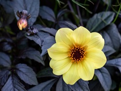 A beautiful bright yellow Dahlia called Mystic Illusion is contrasted against its dark leaves with copy space.