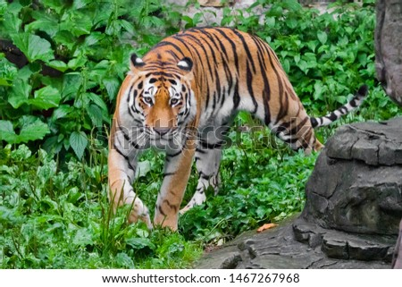 A beautiful brightly red tiger walks through thickets of bright green grass (jungle), a powerful big Asian big cat cat by the rocks, right at you.