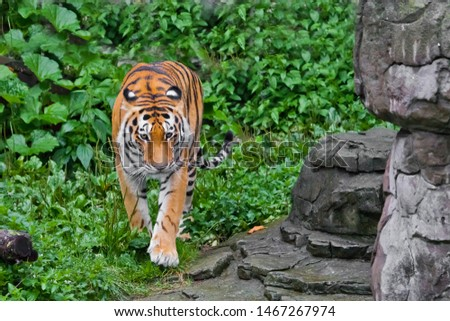 A beautiful brightly red tiger walks through thickets of bright green grass (jungle), a powerful big Asian big cat cat. by the rocks, right at you.