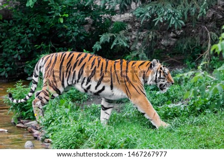 A beautiful brightly red tiger walks through thickets of bright green grass (jungle), a powerful big Asian big cat catin profile by the stream.