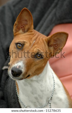 A beautiful brown and white Basenji dog head portrait with cute expression in the face watching other dogs