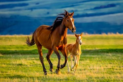 A beautiful brown mare nurturing and teaching her sweet new little foal on a golden summers evening