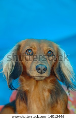 stock-photo-a-beautiful-brown-miniature-long-haired-dachshund-dog-head ...