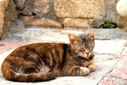 A beautiful brown shorthair pedigree cat lies on antique tile in the Old Town  Kotor, Montenegro. A cute beautiful tabby cat is resting. Domestic or wild, stray animals