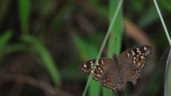 A Beautiful Buckeye Butterfly From A Forest