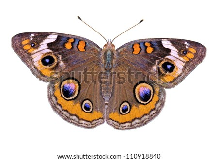 A beautiful Buckeye butterfly (Junonia coenia) isolated on a white background.