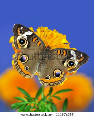 A beautiful Buckeye butterfly (Junonia coenia) on an orange marigold with blue sky in the background.