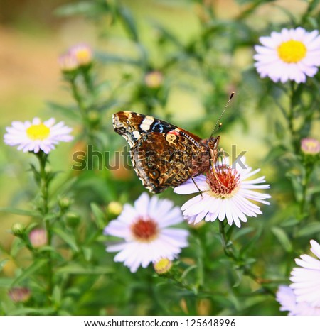 A beautiful butterfly collects nectar