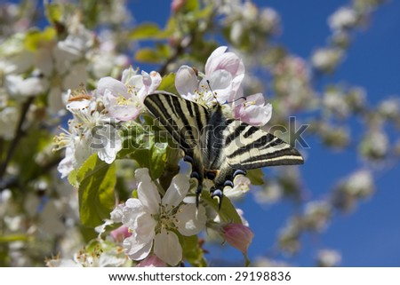 A beautiful butterfly on a blossom apple tree