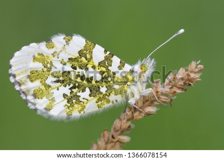 A beautiful butterfly, the Orange tip (Anthocharis cardamines)