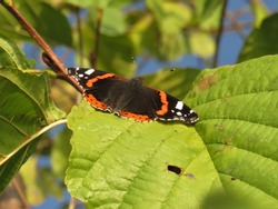 a beautiful butterfly with an orange and black pattern on its wings sits on a green leaf of a tree on a sunny autumn day
